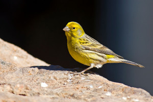 Canary (by Juan Emilio [CC BY-SA 2.0])